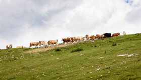 Free range cattle cows on high mountain green pasture. Royalty Free Stock Photo