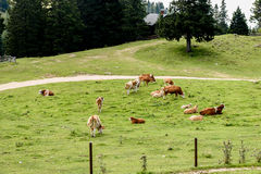 Free range cattle cows on high mountain green pasture. Stock Images