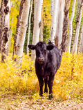 Free-Range Cattle Royalty Free Stock Photography
