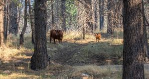 Free Range Cattle in Mountain Trees stock photography