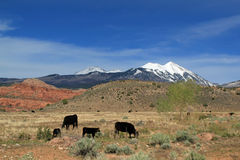 Free Range Cattle and Mountains. Free range cattle in lower pastures with snow capped mountains in background Stock Photo