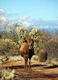 Free range cattle Stock Photos