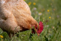 Free range chichen, happily roaming and pecking in a field. Farm life, italian country house royalty free stock images