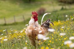 Free range chichen, happily roaming and pecking in a field. Farm life, italian country house.  royalty free stock photos