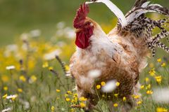 Free range chichen, happily roaming and pecking in a field. Farm life, italian country house.  stock photos