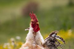 Free range chichen, happily roaming and pecking in a field. Farm life, italian country house.  stock photo