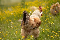 Free range chichen, happily roaming and pecking in a field. Farm life, italian country house. rear view.  royalty free stock photo