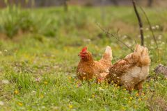 Free range chichen in a meadow spring time royalty free stock image