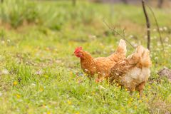 Free range chichen in a meadow spring time stock photos