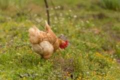 Free range chichen in a meadow spring time royalty free stock photo
