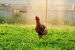 Free range chick Royalty Free Stock Photography