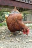 Free range chicken. Pecking at loose grain Stock Image