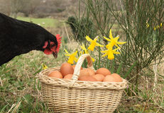 Free range chicken and basket full of eggs. Easter scene on free range farm with daffodils, basket full of eggs and black hen looking into basket Stock Image
