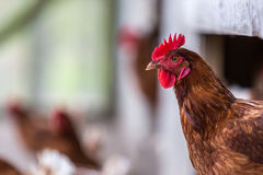 Free Range Chicken Royalty Free Stock Photo
