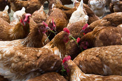 Free-Range Chicken Royalty Free Stock Photos