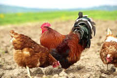 Free-range chicken and a handsome rooster Royalty Free Stock Image