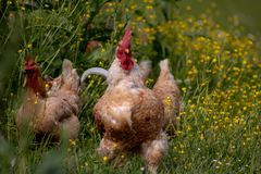 Free range chicken, happily roaming and pecking in a field. Farm life, italian country house.  royalty free stock photos