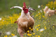 Free range chichen, happily roaming and pecking in a field. Farm life, italian country house stock images