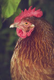 Free Range Chicken Head Royalty Free Stock Photos