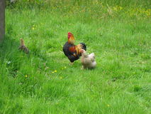 Free range chickens. Hens and cockerel outdoors in the green grass Stock Photos