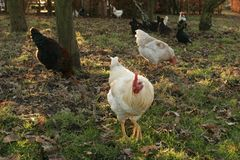 Free-range chickens. On a organic poultry farm Hampshire England Royalty Free Stock Image