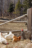 Free Range Chickens Stock Photos