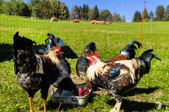 Free-range chickens Stock Images