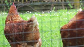 Free range chickens in the backyard stock video