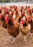 Free-Range Chickens in Barnyard Pasture stock image