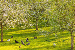 Free range chickens in a blooming orchard Stock Image