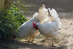 Free-Range Chickens Stock Photo