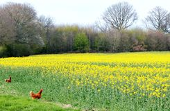 Free range chickens on farm Stock Photography