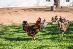 Free Range Chickens royalty free stock photos