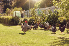 Free range chickens feeding on lush green grass in sunlight Royalty Free Stock Photography