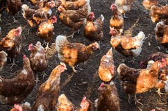 Free Range Chickens. Great to see chickens that are not in a small cage but are out on real ground Royalty Free Stock Images