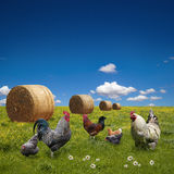 Free range chickens on  green meadow Royalty Free Stock Photo