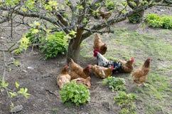 Free range chickens. Group of brown free range chicken on organic farm Royalty Free Stock Image