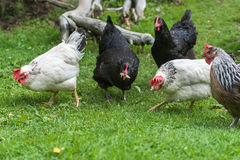 Free Range Chickens Royalty Free Stock Photography