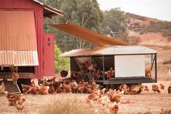 Free range chickens, happy hens laying organic brown eggs on sustainable farm in chicken tractors. Free range chickens, happy hens laying organic brown eggs on stock image