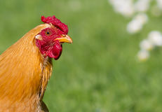 Free range hen. Portrait of a healthy looking free range chicken royalty free stock image
