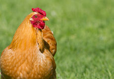 Chicken on grass. Close up image of a healthy looking free range chicken on lush green grass stock images