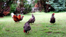 Free Range Chickens stock video footage