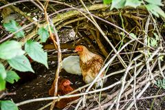 Free Range Chickens hiding out, Jasper, GA, USA royalty free stock photos