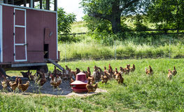 Free Range Chickens and Movable Coop. Free range egg laying hens around their coop which is periodically moved to another field to fertilize land for organic stock image