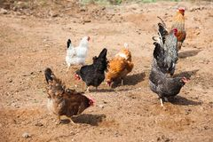 Free range chickens roam the yard. On a small farm Royalty Free Stock Photos