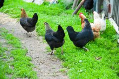 Free range chickens roam the yard. On a small farm Stock Photos