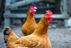 Free range chickens roam the yard on a small farm yard. Free range chickens roam the yard on a small farm Royalty Free Stock Photo