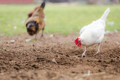 Free Range Chickens Scratching in Dirt stock images