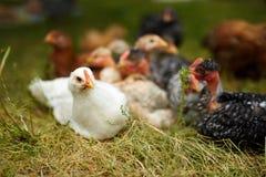Free range chicks Royalty Free Stock Image