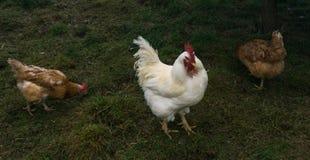 Free-range chiken. hens birds. Free-range chiken. hens stock images